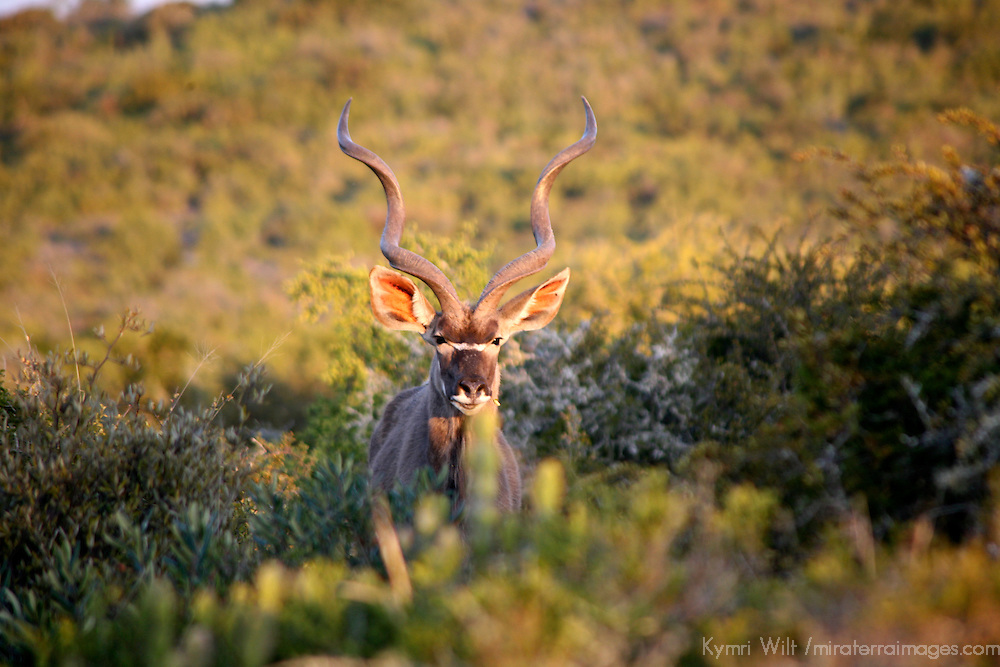 Africa, South Africa, Kwandwe. Greater Kudu.
