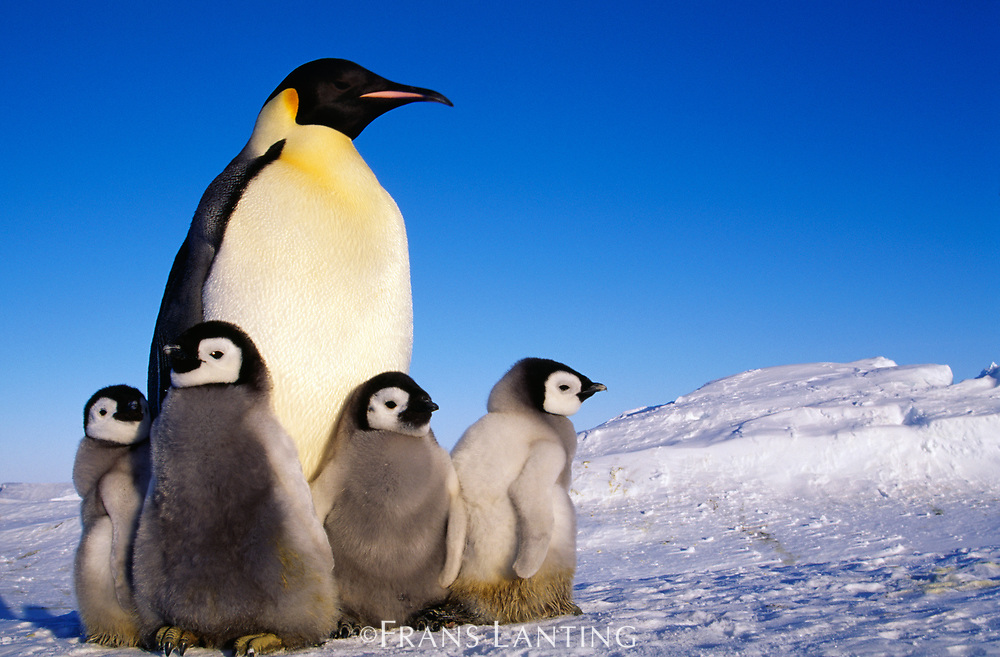 Emperor penguin and chicks, Aptenodytes forsteri, Weddell Sea, Antarctica