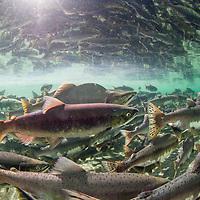 USA, Alaska, Katmai National Park, Underwater view of spawning Pink Salmon (Oncorhynchus gorbuscha)  and Red Salmon (Oncorhynchus nerka) along Kuliak Bay