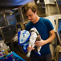 SARASOTA, FL -- October 2012 -- Hospital staffer Nick Larson pulls an injured Osprey out for treatment at Save Our Seabirds (S.O.S.) on City Island in Sarasota, Florida.  (PHOTO / CHIP LITHERLAND)