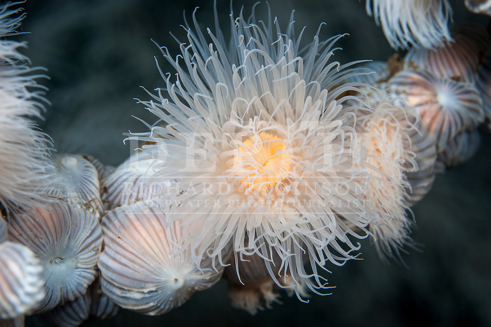 Mimetridium cryptum (Plumose anemone). Tuesday 08 April 2014<br /> Photograph Richard Robinson &copy; 2014<br /> Dive Number: 522<br /> Site: China Shop, Prindham Point, Doubtful Sound, Fiordland.<br /> Boat: Tutoko<br /> Dive Ian Skipworth<br /> Time: 13:43<br /> Temperature:  14.8<br /> Rebreather: Inspiration Vision. Total Time On Unit: 331:05 hh:mm<br /> Maximum Depth: 33.5 meters<br /> Bottom Time: 120 minutes<br /> Mix: 21<br /> CNS: 58%<br /> OTU: 46%<br /> Bottom Time to Date: 35,550 minutes<br /> Cumulative Time: 35,670 minutes