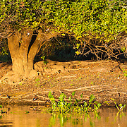 Trees, wetland, Brazil; Mato Grosso; Pantanal, along bank, river edge