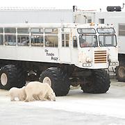 Polar bears (Ursus maritimus) near the tundra buggy lodge. Manitoba, Canada
