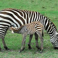 Common zebra ( Equus quagga ) breast feeding mil from the mother.  Kenya. Africa