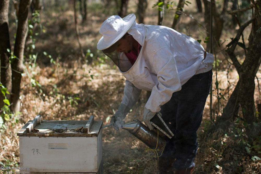 Yuri Pichardo Valverde, 23, checks his family's boxed beehives. Yuri, a full time UCASA agronomist, is the son of Francisca Valverde. Both are beekeepers, or apiarists, and members of COOPSADES, a local co-op affiliated to UCASA (Union de Cooperativas Agropecuarias El Sauce). UCASA exports honey certified by the Fairtrade Labelling Organization (FLO). San Nicolas, El Sauce, León, Nicaragua. January 23, 2014.
