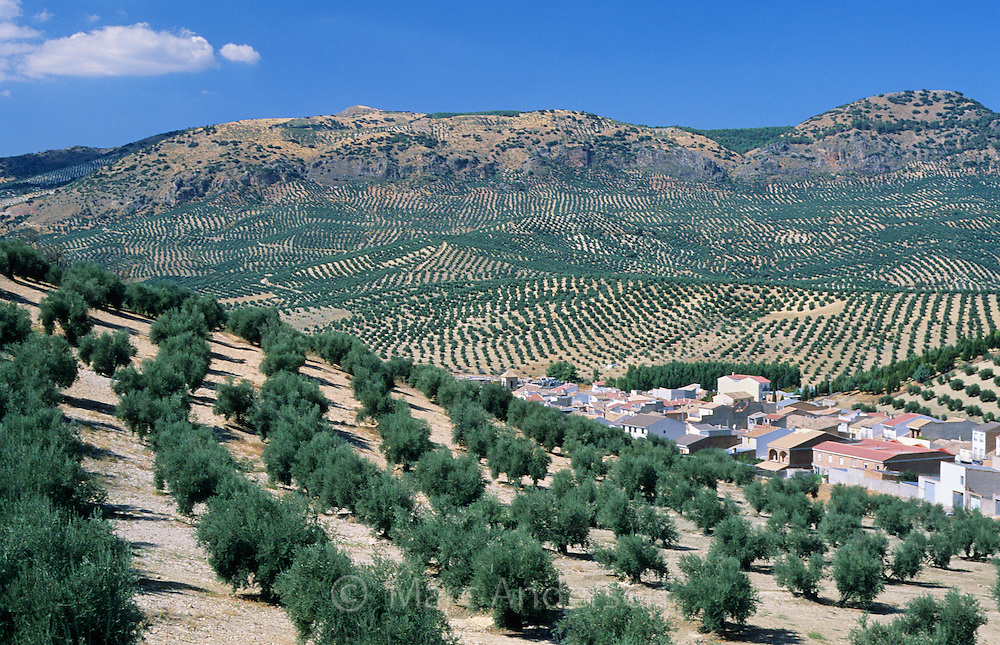 Rows of olive tree groves in the olive oil producing region of Jaen, Andalucia, Spain