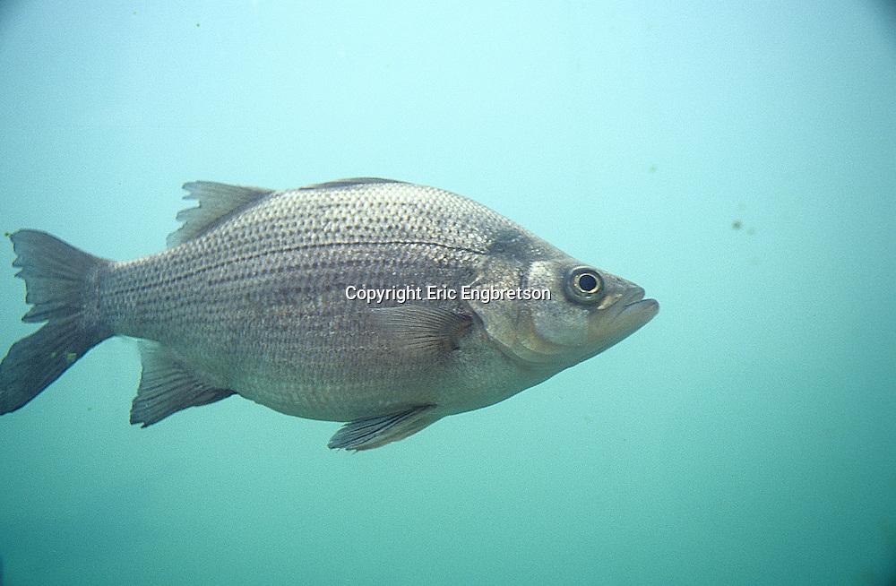 White Bass Engbretson Underwater Photography