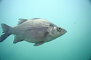 White Bass<br />