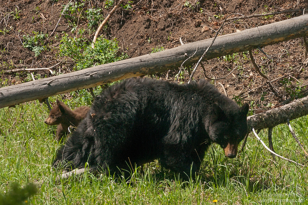 A black bear cub (Ursus americanus) follows its mother through a forested area of Yellowstone National Park, Wyoming. Black bears are the smallest, yet most widely distributed, bear species in North America.