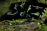 Parrot clay lick, Napo Wildlife Center, Yasuni National Park, Quichua Community, Amazonia, Ecuador