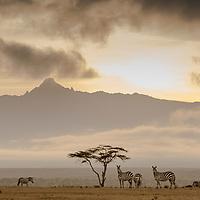 Plains Zebra at Laikipia, Kenya