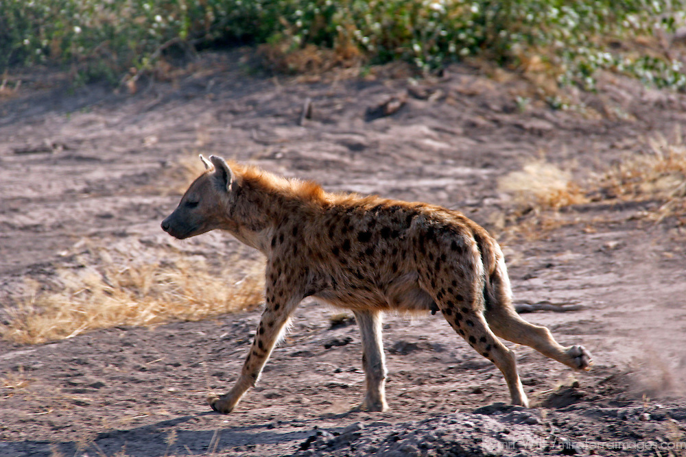 Africa, Kenya, Amboseli. Trotting spottd hyena.