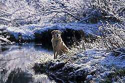 Dog resting near stream in winter in South Lake Tahoe, CA<br />