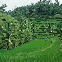 Indonesia, Bali, Farmer walks through lush green rice terraces near Ubud