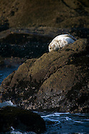 A harbor seal rests on the rocks in the early morning sun at Salt Point, California