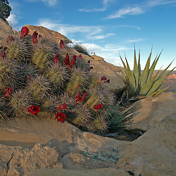 A hedge hog cactus & Agave find a home in a small crack in the coconino sandstone.