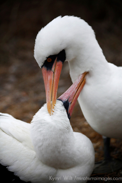 South America, Ecuador, Galapagos Islands. Pair of nesting Nazca Boobies on Genvese Island.