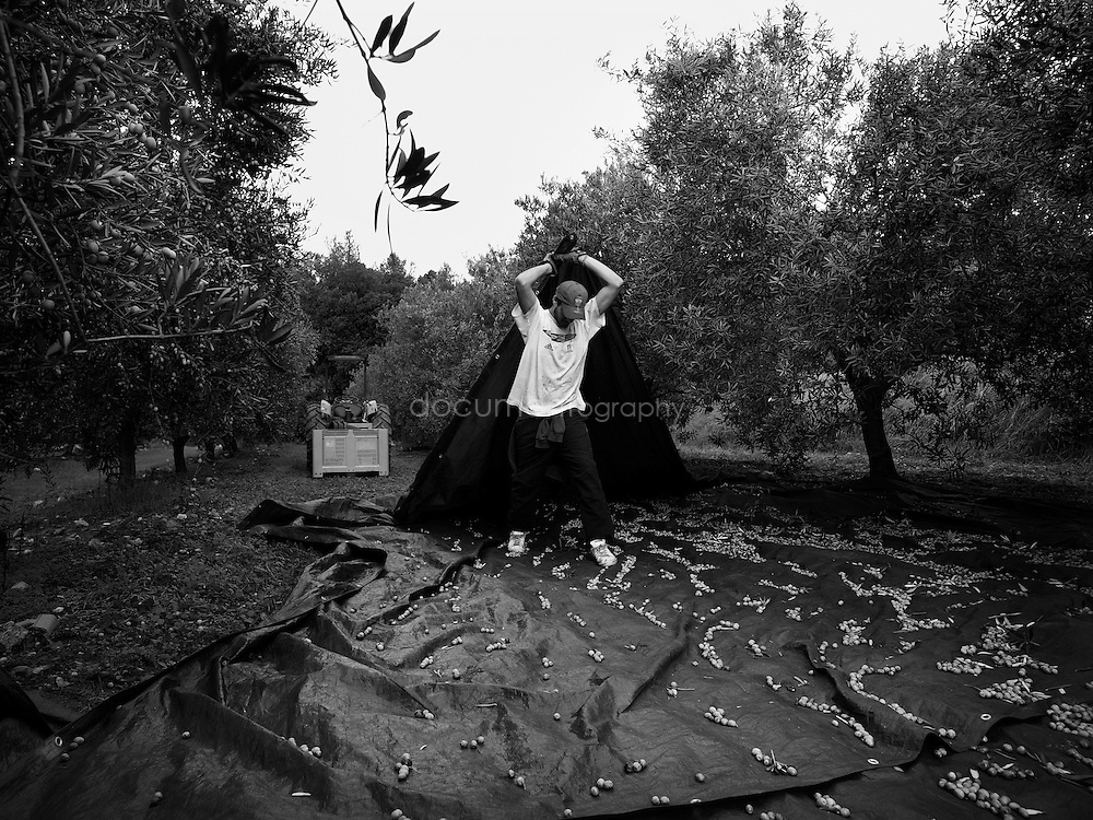 A workers dragging the groundsheet use to collect the olives, Domaine du Jasson, La Londe Les Maures, France.