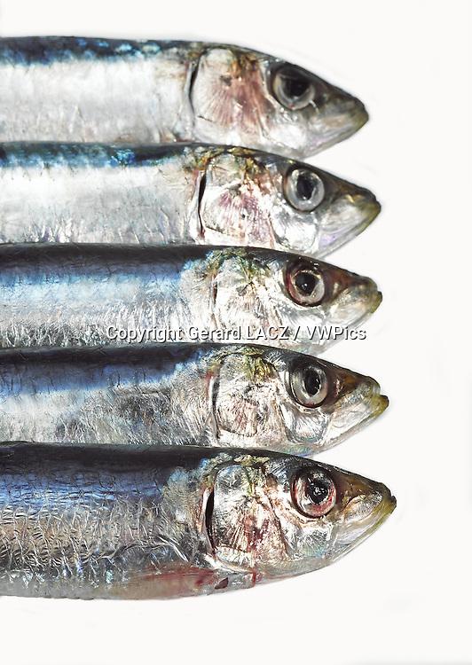 Fresh Sardines, sardina sp. against white Background