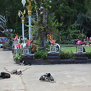 Domestic dogs, temple dogs, Caves of Tham Chiang Dao; Chiang Dao; Chiang Mai; Thailand; Tham Chiang Dao