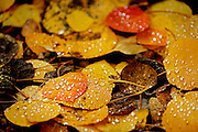 """SHOT 9/23/14 3:19:52 PM - Rain drops form on fallen aspen leaves that have changed colors near Rollinsville, Co. in the Arapaho National Forest. Aspens are trees of the willow family and comprise a section of the poplar genus, Populus sect. Populus. The Quaking Aspen of North America is known for its leaves turning spectacular tints of red and yellow in the autumn of the year (and usually in the early autumn at the altitudes where it lives). This causes forests of aspen trees to be noted tourist attractions for viewing them in the fall. These aspens are found as far south as the San Bernardino Mountains of Southern California, though they are most famous for growing in Colorado. Autumn leaf color is a phenomenon that affects the normally green leaves of many deciduous trees and shrubs by which they take on, during a few weeks in the autumn months, one or many colors that range from red to yellow. The phenomenon is commonly called fall colors and autumn colors, while the expression fall foliage usually connotes the viewing of a tree or forest whose leaves have undergone the change. In some areas in the United States """"leaf peeping"""" tourism between the beginning of color changes and the onset of leaf fall, or scheduled in hope of coinciding with that period, is a major contribution to economic activity. (Photo by Marc Piscotty / © 2014)"""