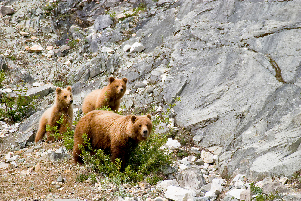 A brown bear sow and her two interested cubs peer out of the frame.