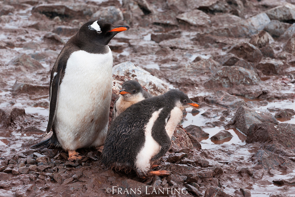Gentoo penguin parent with chicks standing in mud, Pygoscelis papua, Antarctica