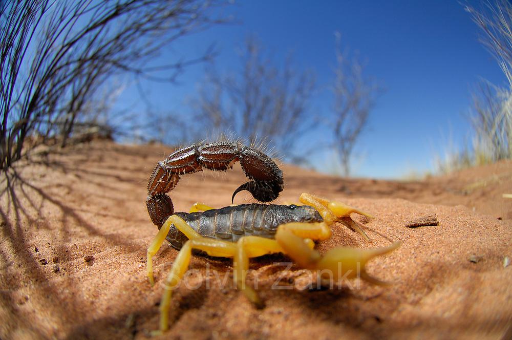Gifttiere sind in der Namib häufig anzutreffen. Dieser Skorpion (Parabuthus villosus) kann sich relativ zierliche Scheren leisten - sein Gift ist umso gefährlicher! Ein Stich von ihm macht bei Menschen einen Klinikaufenthalt unumgänglich und manche Parabuthus-Arten sind sogar in der Lage, ihr Gift über eine Entfernung von 1 m in die Augen eines Gegners zu verspritzen. Trotz seines wehrhaften Auftretens steht dieses Tier auf der Speisekarte von Löffelhunden und Erdmännchen.