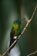 Sapphire-vented puffleg (Eriocnemis luciani)<br /> Yanacocha Nature Reserve<br /> on slopes of Pichincha Volcano<br /> Andes<br /> ECUADOR, South America<br /> Range: Subtropical or tropical moist montane forests of Colombia, Ecuador, Peru &amp; Venequela