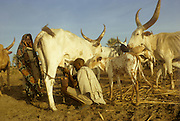 Africa, Chad, Sahel region, islands of Lake Chad: Buduma (Yedina) young man milking a cow. The Buduma or Yedina speak a language pertaining to the Afro-Asiatic family, Chadic subfamily. The Buduma are pastoralists, fishermen and agriculturists.