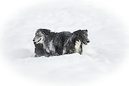 Australian Shepherds love the snow!