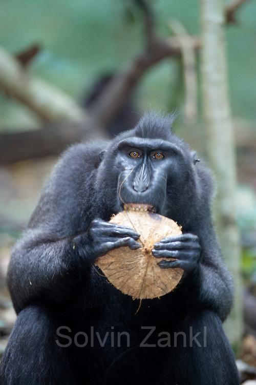 Celebes Crested Macaque (Macaca nigra) | Der Schopfmakake kämpft mit einer harten Kokosnuss.