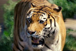 one large snarling siberian tiger