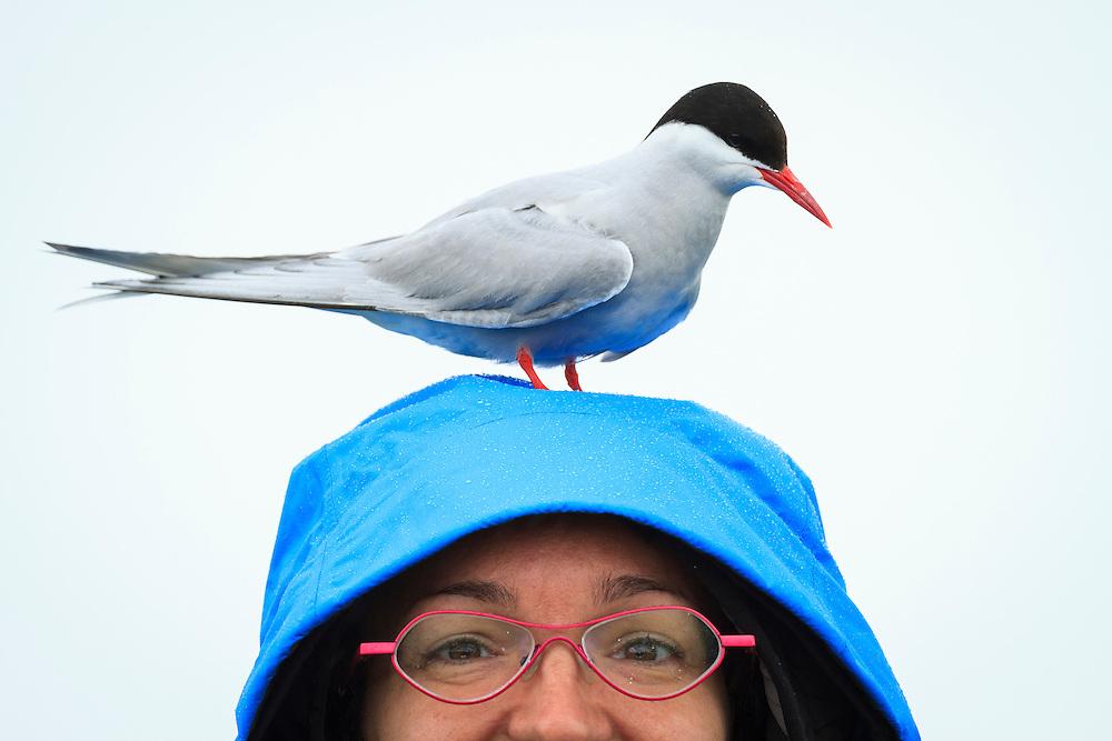 Arctic Tern (Sterna paradisaea) standing on Mireia Barabino head. Farne islands. Northumberland. UK.