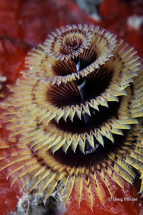 Christmas tree worm, Spirobranchus giganteus, Key Largo, Florida, USA ( Western Atlantic Ocean )