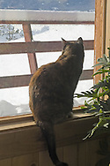 Calico cat looks out window during Montana winter storm <br /> PROPERTY RELEASED