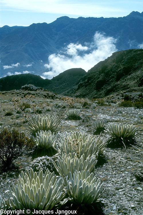 Wet tropical alpine vegetation called Paramo in South America with osette plants Espeletia sp. (Asteraceae) in Cordillera de los Andes mountain range, Merida State, Venezuela.