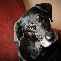 Black labrador retriever dog photography