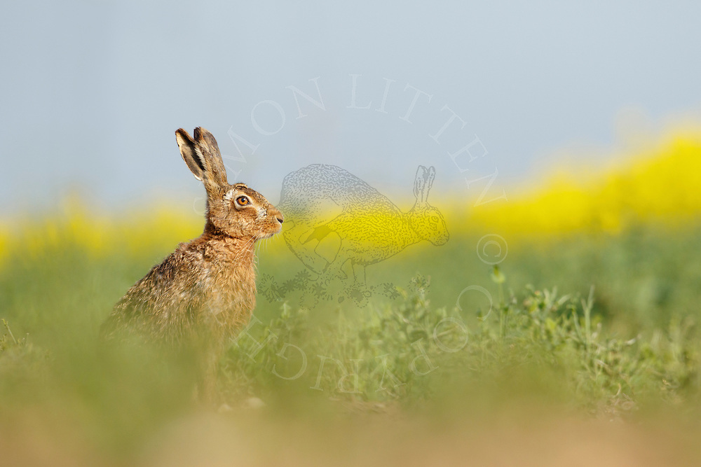 European Hare (Lepus europaeus) adult at rest in oilseed rape crop, South Norfolk, UK. May.