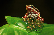 Phantasmal poison dart frog guarding its eggs (Epipedobates tricolor)<br /> Forests SW ECUADOR.  South America<br /> Although they are primarily terrestrial frogs they lay their eggs in clusters on top of leaves and then guard them. The skin on this frog has been found by scientists to have analgesic compounds (epibatidine and epiquinamide) the former being 200 times more powerful than morphine as a pain killer with no apparent side effects.