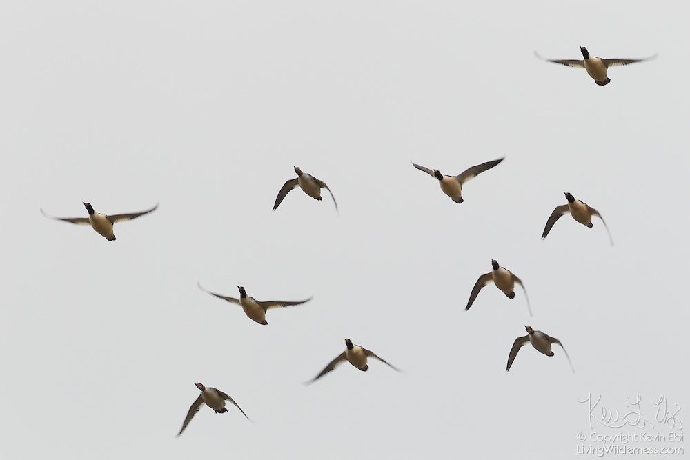 A flock of common mergansers (Mergus merganser) flies in formation over the Snohomish River near Kenmore, Washington. The common merganser spends the summer on wooded lakes and along rivers throughout Canada and parts of the northern United States. In the winter, it is found on large lakes and estuaries throughout the mainland United States.