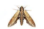Laurel Sphinx moth - Hodges#7809 (Sphinx kalmiae)<br /> ALABAMA: Tuscaloosa Co.<br /> Tulip Tree Springs off Echola Rd.; Elrod<br /> 9-April-2016<br /> J.C. Abbott #2793 &amp; K.K. Abbott