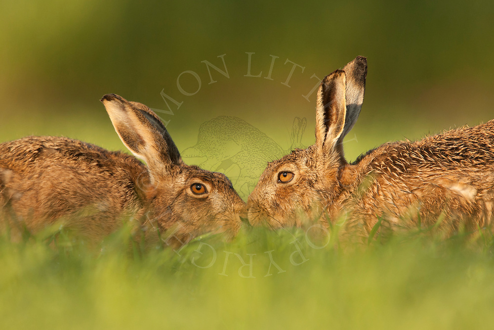 European Hare (Lepus europaeus) adult male and female touching noses, Norfolk, UK.