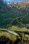 Northern Pike (juvenile)<br /> <br /> Viktor Vrbovsky/Engbretson Underwater Photography