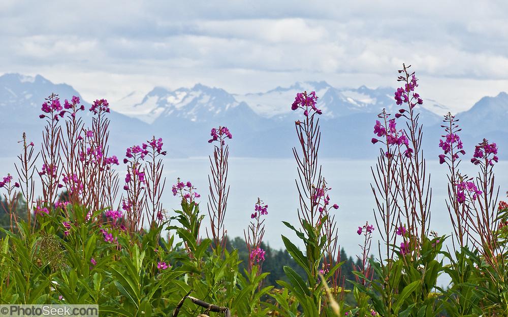 Fireweed blooms pink magenta on the shore of Kachemak Bay, Homer, Sterling Highway, Kenai Peninsula, Alaska, USA.