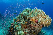 Leather Coral (Alcyonacea)<br /> Fiji. <br /> South Pacific<br /> Coral reef diversity