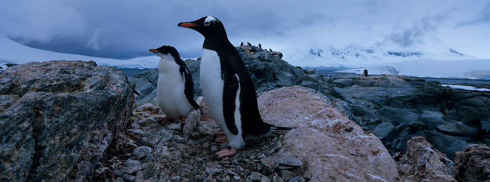 Antarctica, Wiencke Island, Gentoo Penguin and young chick (Pygoscelis papua) in rookery by Port Lockroy