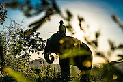 A mahout grazes his elephant at day's end on a rural hill in Dak Lak, Province Central Vietnam.