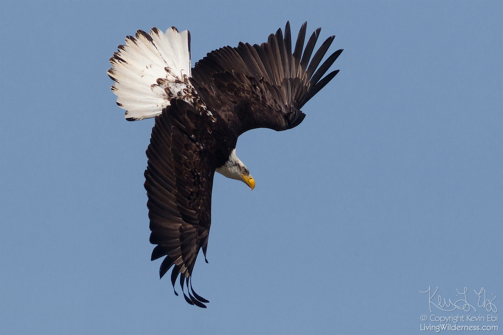 A bald eagle (Haliaeetus leucocephalus), likely 4 years old, dives in hopes of catching a fish in Hood Canal near Seabeck, Washington. Bald eagles don't receive their pure white head until they are 4 to 5 years old.