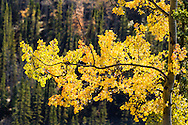 Quaking Aspen (Populus tremuloides) leaves backlit by late autumn sun in Denali National Park in Southcentral Alaska. Afternoon.